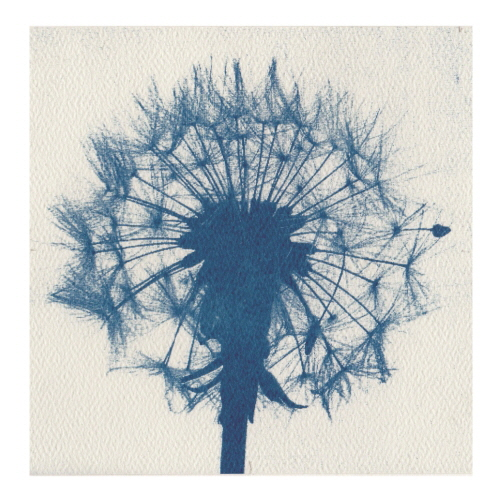 Week 19. Solar Print using light sensitive paper;  Dandelion clock.